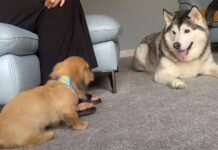 Husky con un cucciolo di bassotto