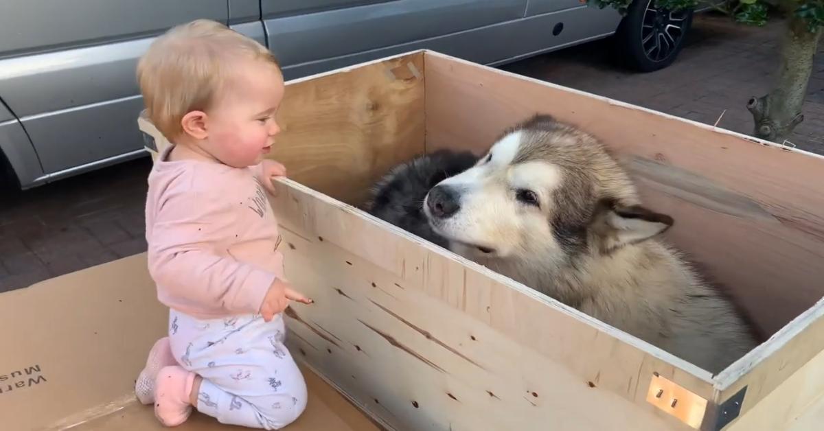 Cuccioli di Malamute giocano con una scatola di legno e si divertono (VIDEO)