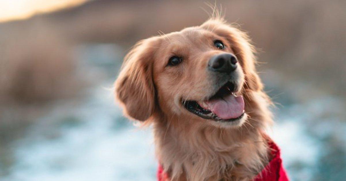 Marshall, il cucciolo di Golden Retriever che mangia i broccoli per la prima volta (VIDEO)