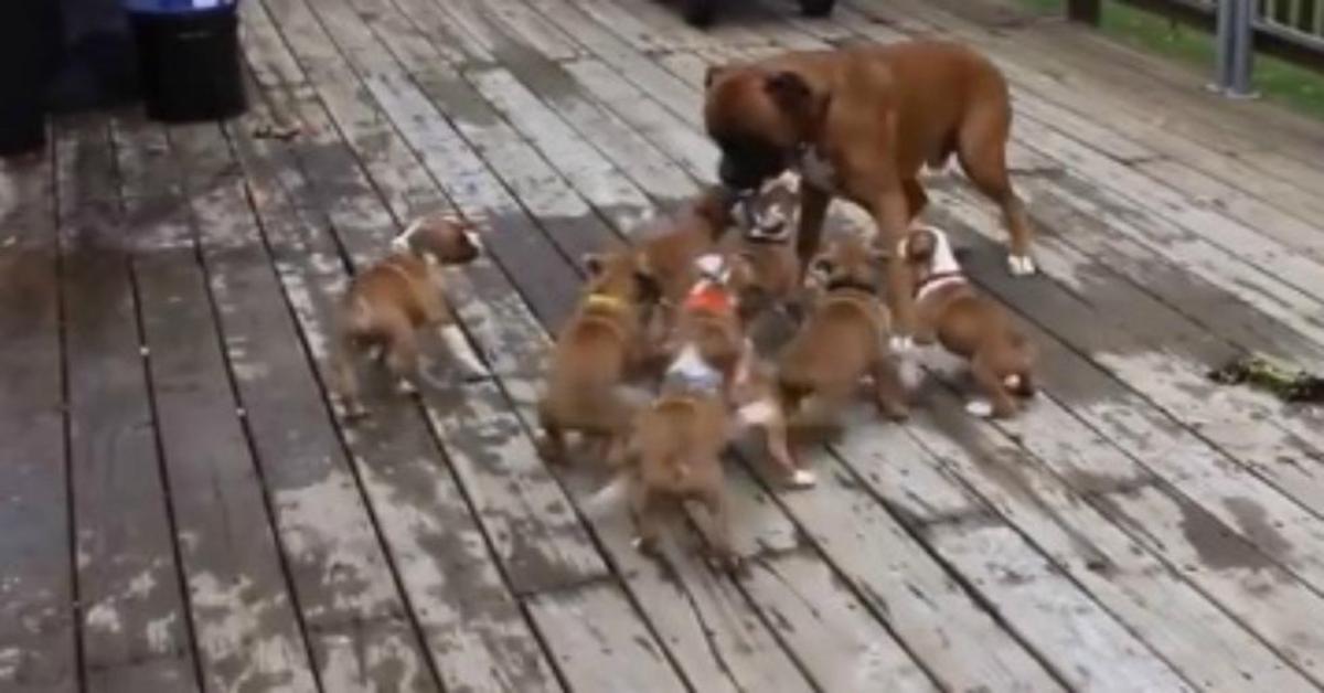 Papà Boxer scambiato per madre dai suoi figli