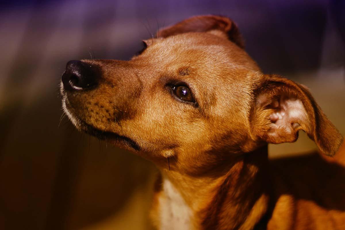 Cane che guarda con aria sognante