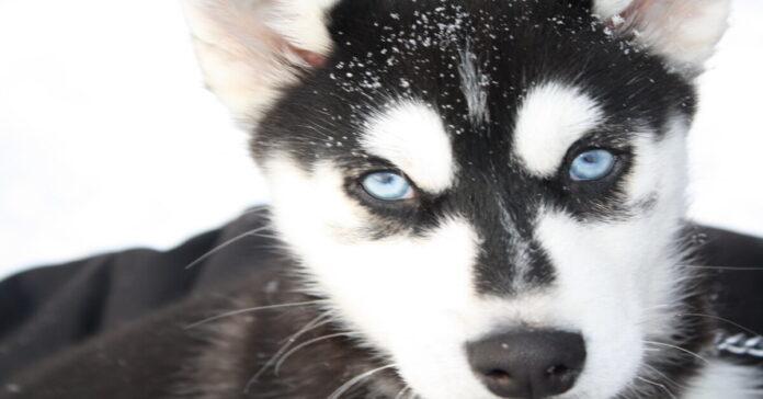 Ramsey cucciolo Siberian Husky video