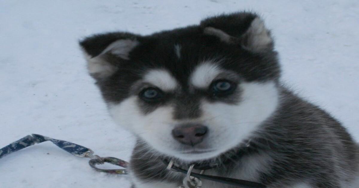 Ramsey il cucciolo di Siberian Husky che risponde a tono ai rimproveri della famiglia (VIDEO)