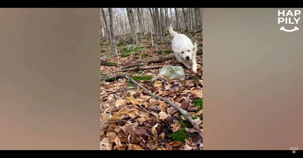 Il pilota di un drone trova Meadow, una cucciola di Golden Retriever che si era persa da dieci giorni (VIDEO)