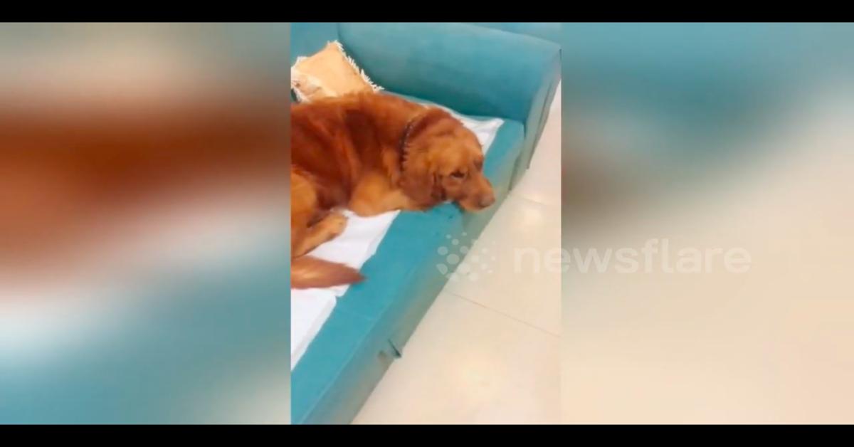 Un'immagine tenerissima: il gattino dorme sotto l'orecchia di un dolce cucciolo di Golden Retriever (VIDEO)