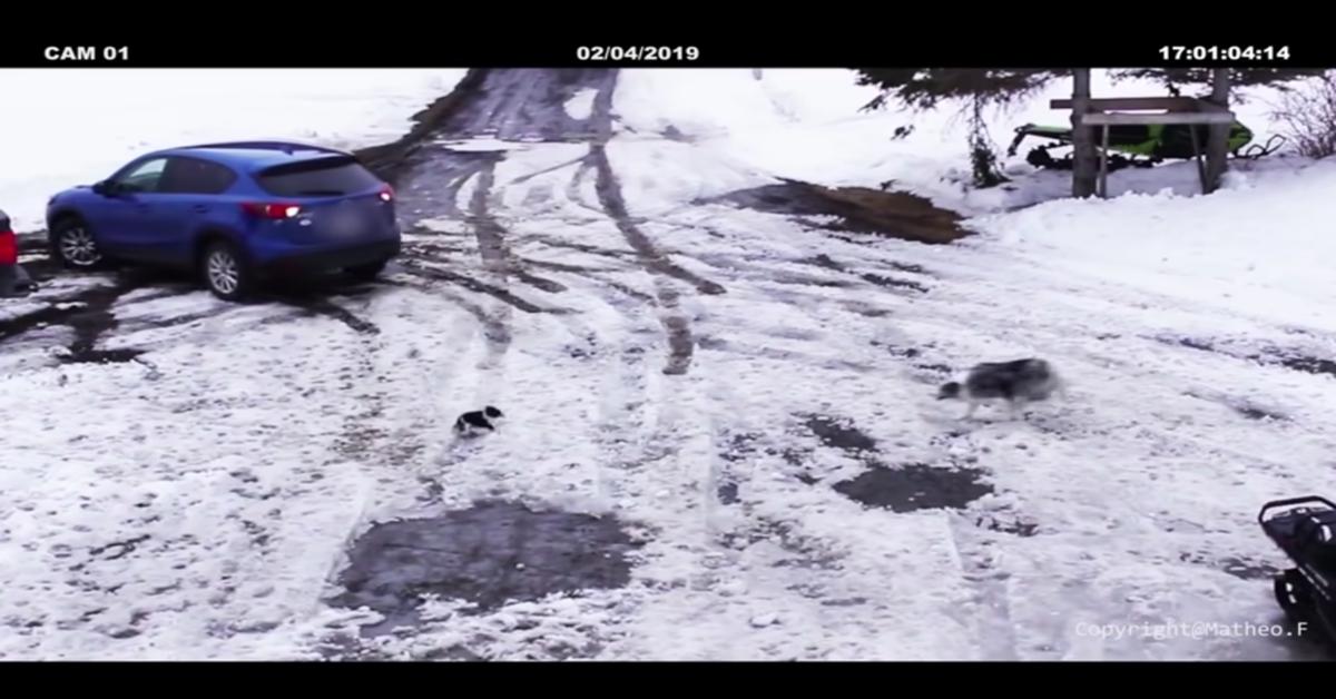 Border Collie eroe salva chihuahua nella neve