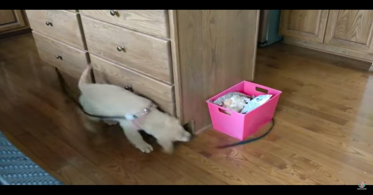 golden cucciolo gioca con il suo guinzaglio