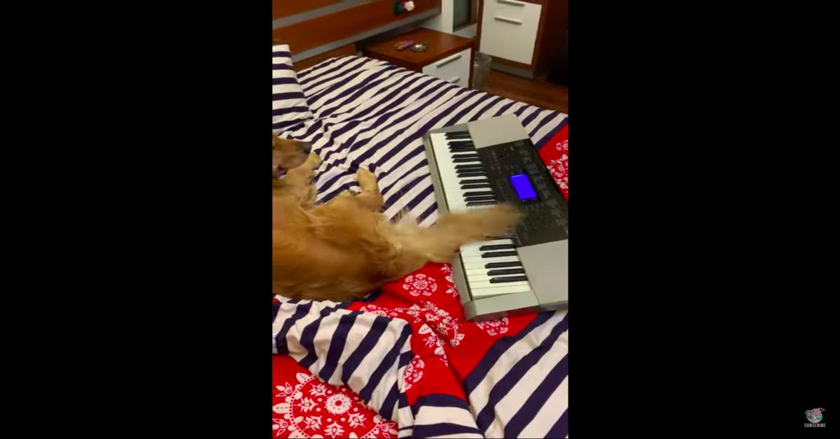 Golden sul letto suona piano