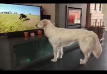 Golden vuole giocare con il cane che appare il tv