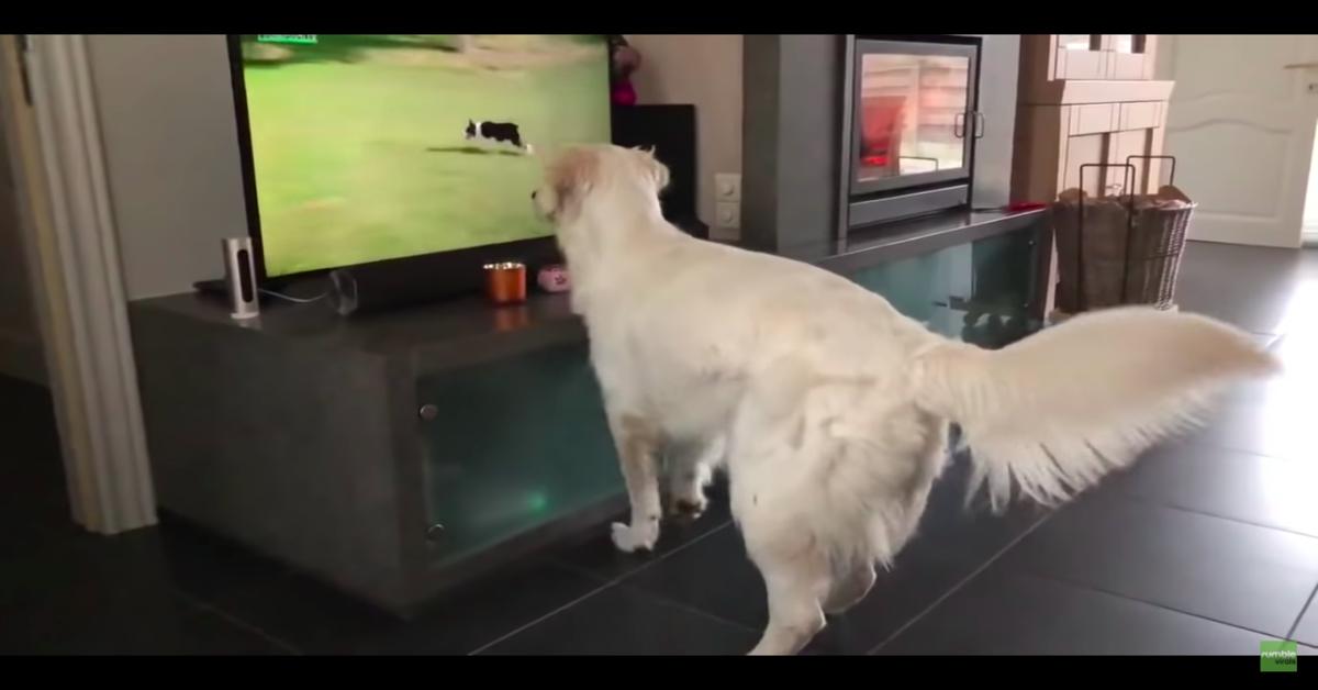 Maya golden contenta vuole giocare con cane in tv