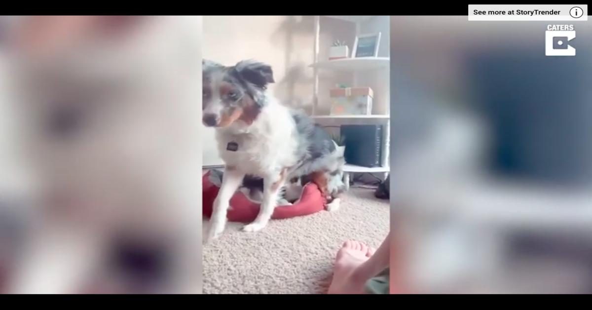 Una cucciola di cane, Luna, si siede sopra la gattina Elvira ma quest'ultima la ignora completamente (VIDEO)