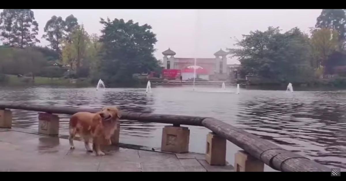 Golden esce dal lago dopo essere stato attaccato da un cigno