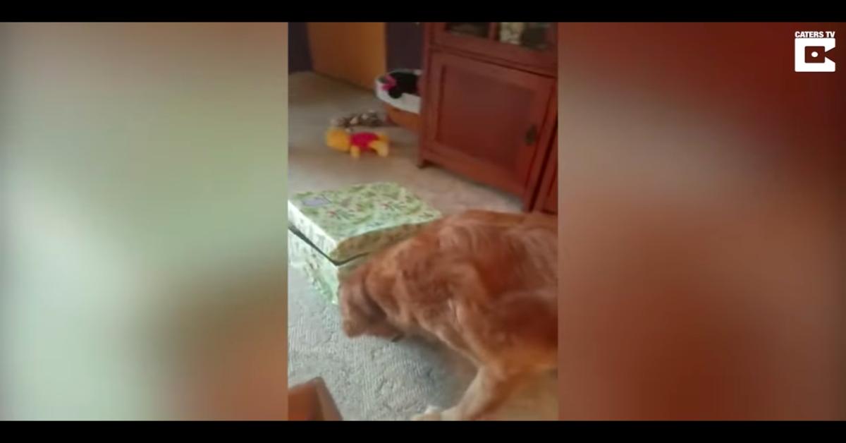 Un Golden Retriever riceve il miglior regalo della sua vita (VIDEO)