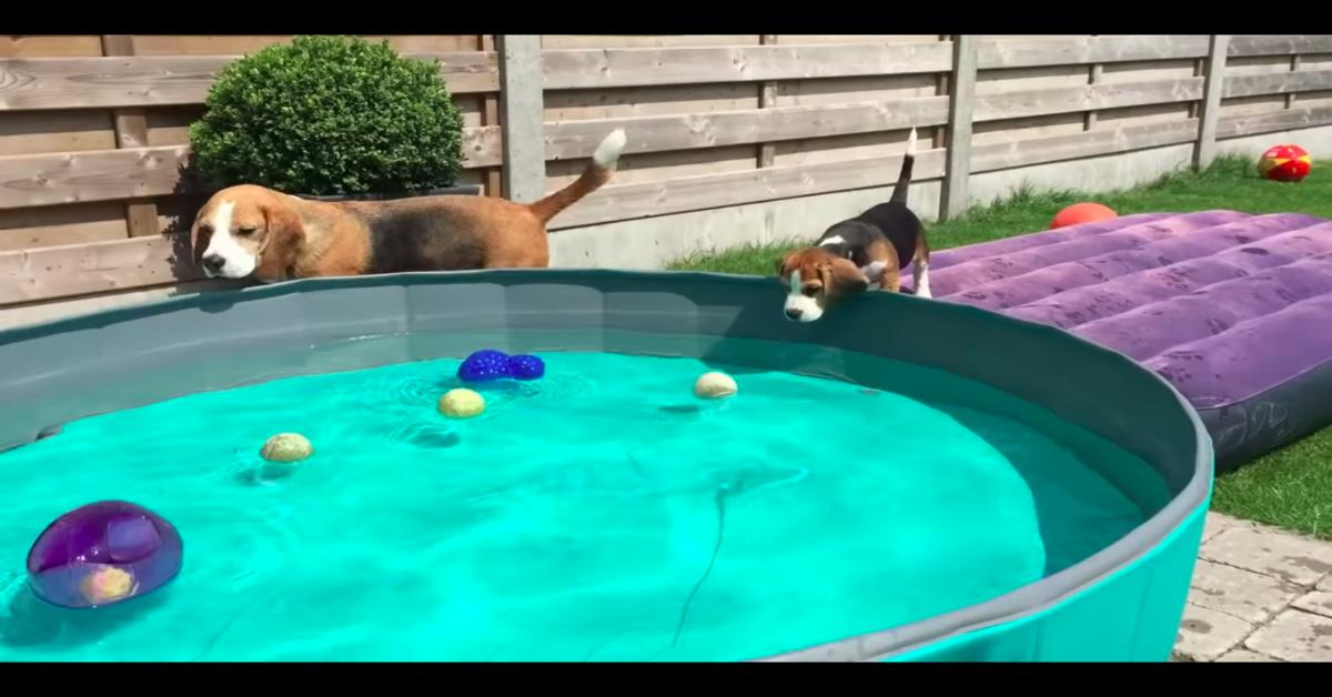 Un tenero cucciolo di Beagle fa il bagno in piscina per la prima volta (VIDEO)