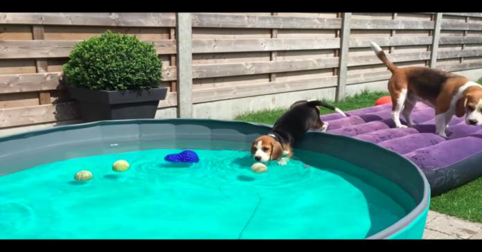 Beagle in piscina