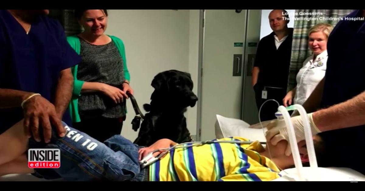 Mahe, il cucciolo di Labrador di servizio che non abbandona mai il suo fratellino umano autistico (VIDEO)