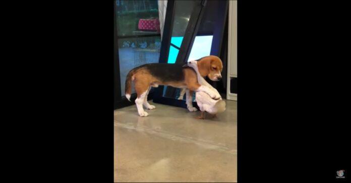 Beagle abbraccia papera