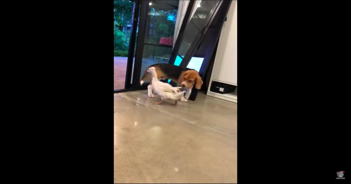 Beagle e papera migliori amici