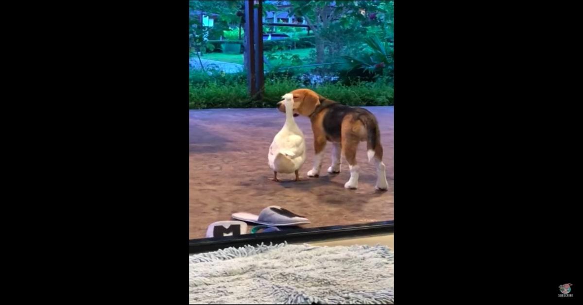 Bruno e Tweeti, papera e Beagle migliori amicii