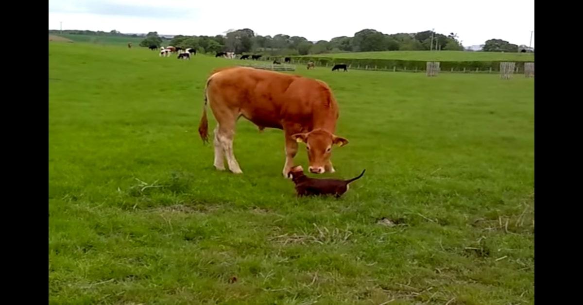 Lana, la cucciola di Bassotto felicissima di conoscere una mucca (VIDEO)