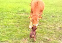 bassotto Lana bacia la mucca