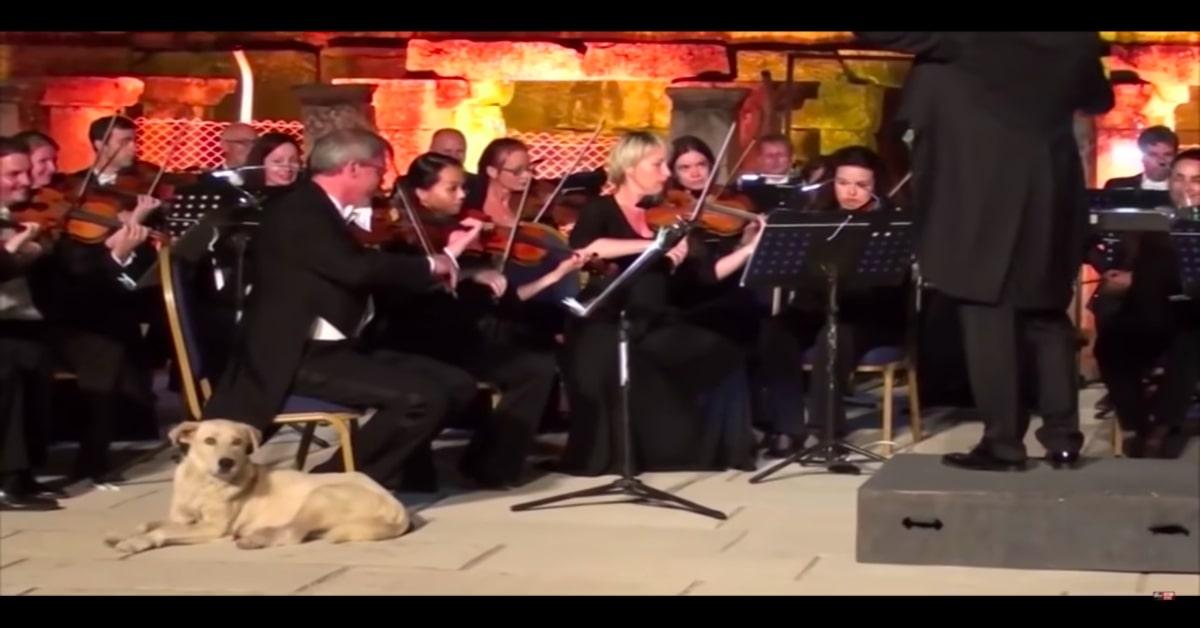 Labrador seduto sul palco con l'orchestra