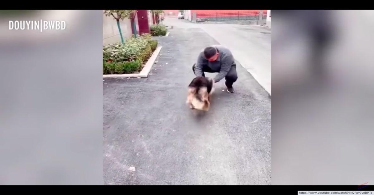Il rincontro di Wangwang, un Pastore Tedesco poliziotto in pensione con il suo addestratore (VIDEO)