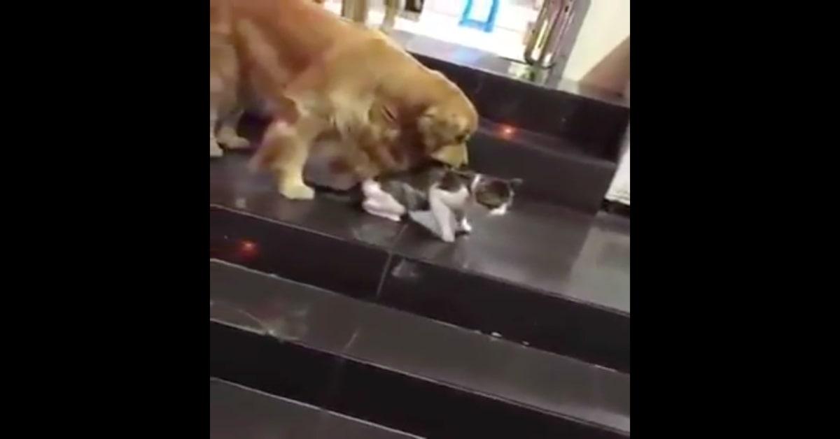 cane trascina via gatto litigioso