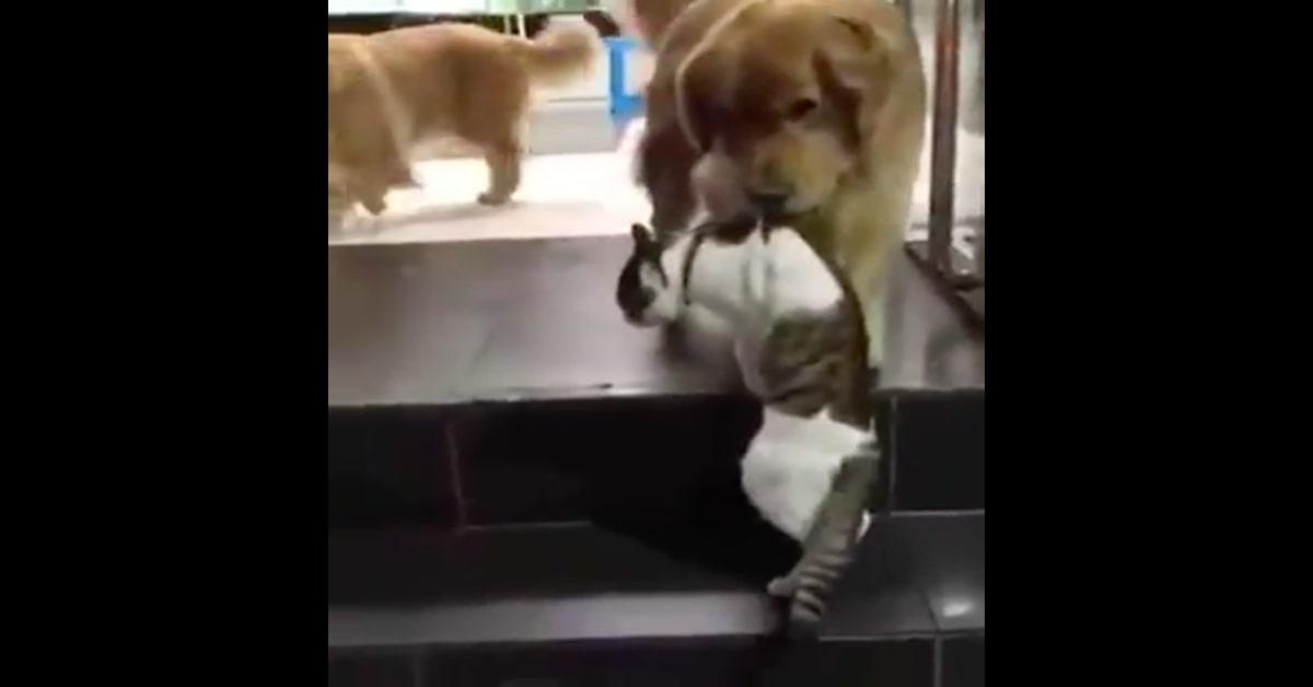 Un cucciolo di Golden Retriever evita una rissa fra due gatti (VIDEO)