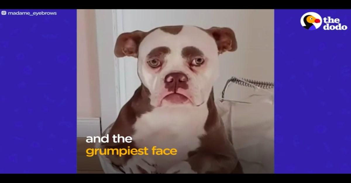 Bulldog con epsressione sempre triste