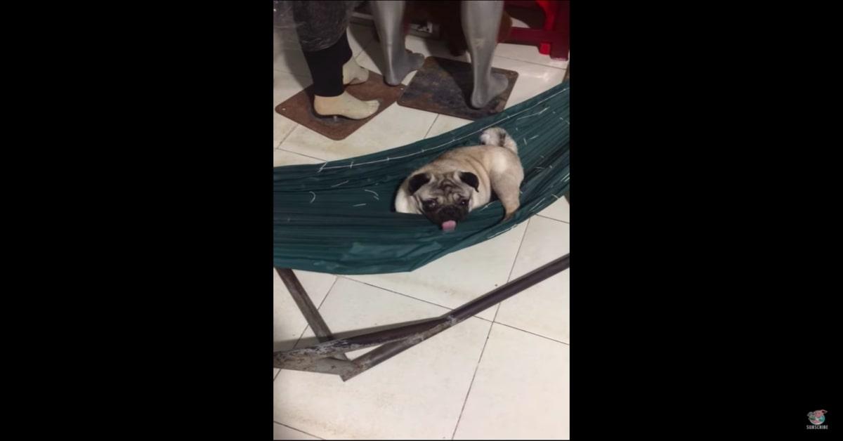 Carlino comodo sull'amaca