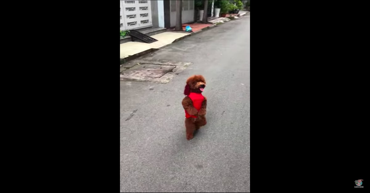 Bo barboncino cammina in piedi per strada