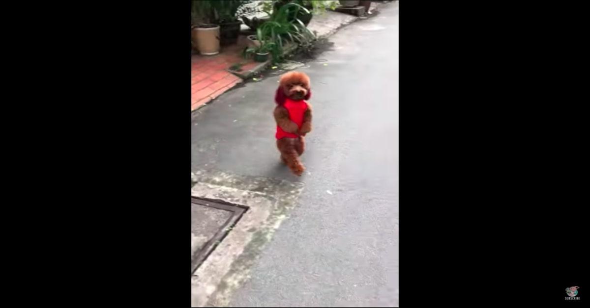 Barboncino marrone cammina in piedi