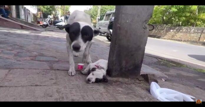 cagnolina con il suo cucciolo gravemente ferito