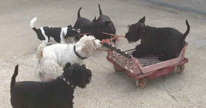 Squeak Scottish Terrier video