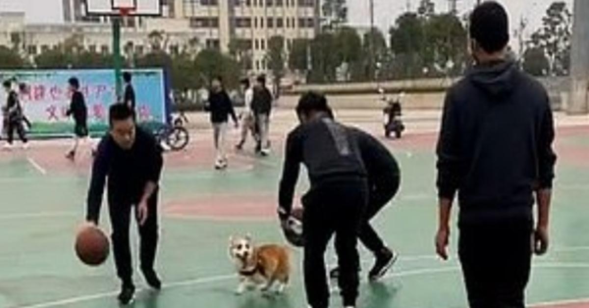 Xiao Ba Corgi video