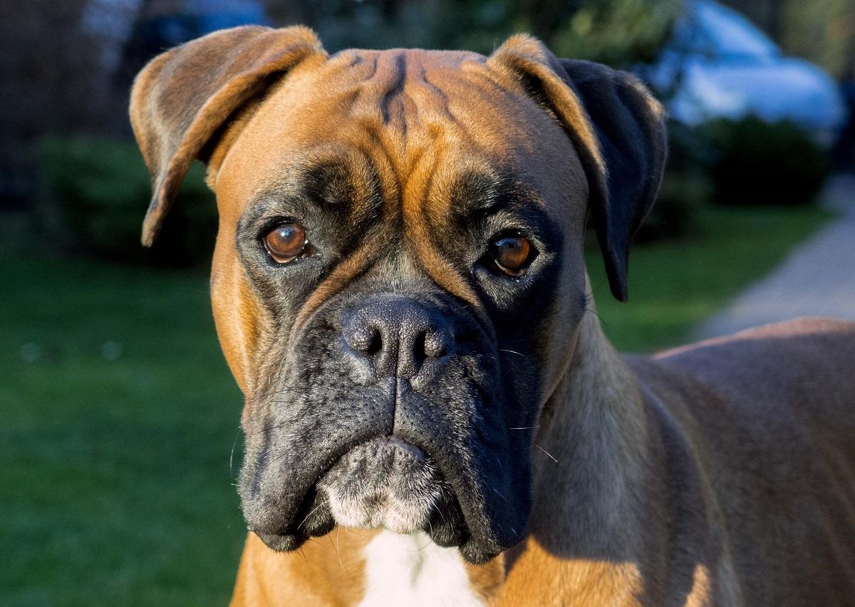 boxer cane foto