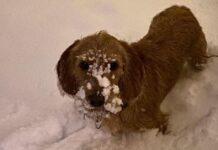 cane musetto pieno di neve