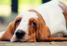 basset hound rilassato