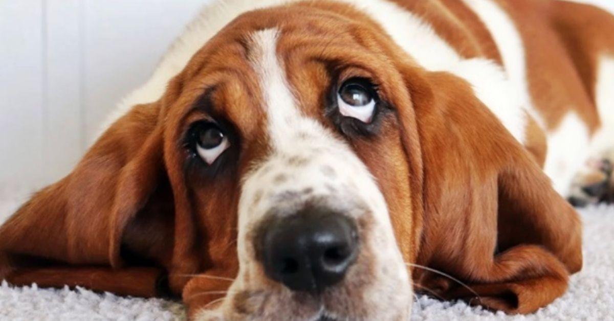 basset hound riposa
