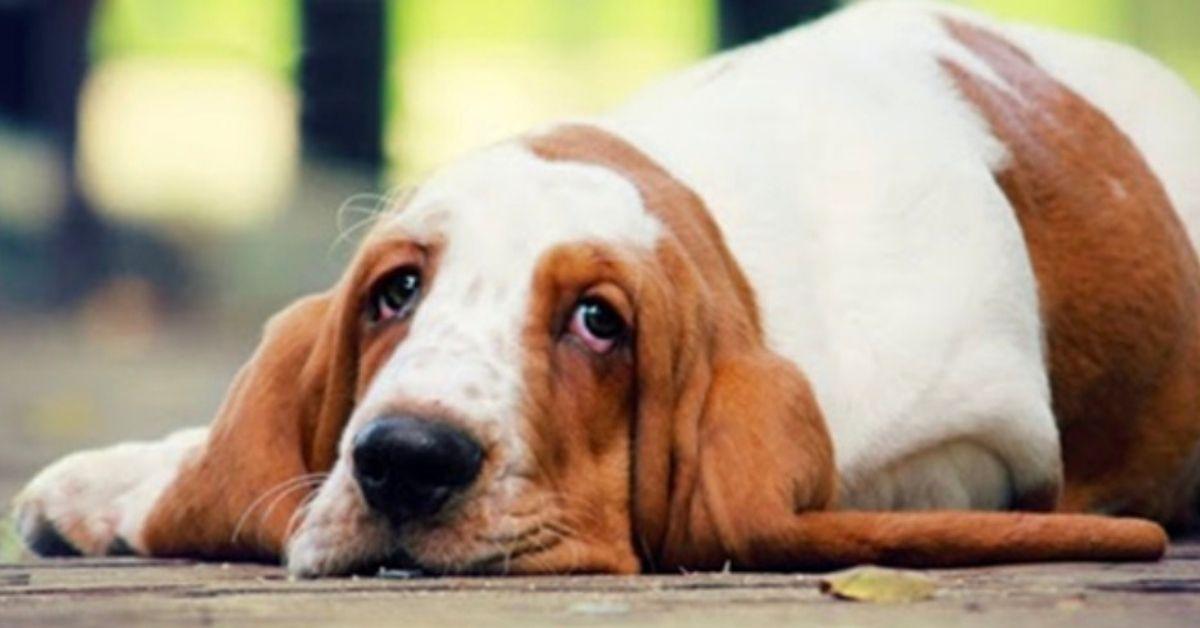 basset hound stanco