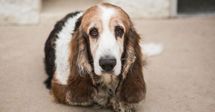 cane orecchie lunghissime