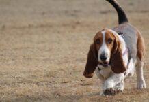 basset hound in giro