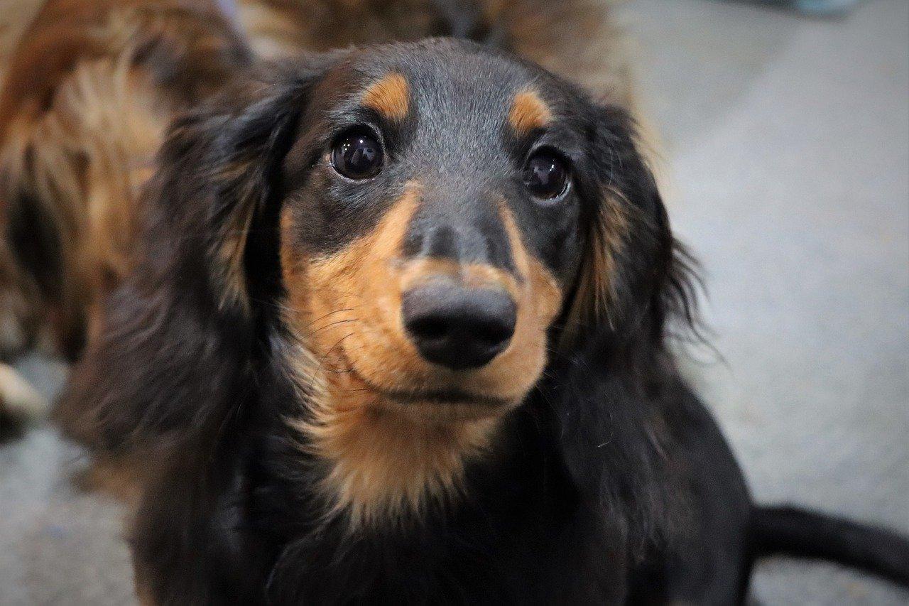 cucciolo bassotto pelo lungo