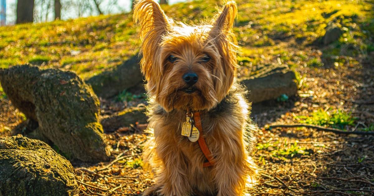 Cuccioli di Yorkshire Terrier: carattere, particolarità e comportamento, cosa sapere