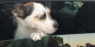 cane affacciato al finestrino dell'auto