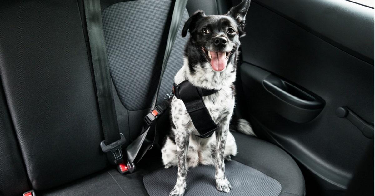 Cane anziano in macchina: come abituarlo e quanto può resistere
