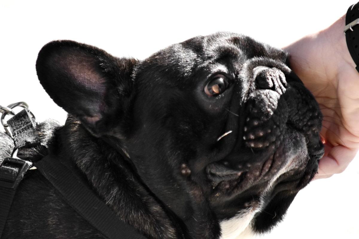 cane brachicefalo nero