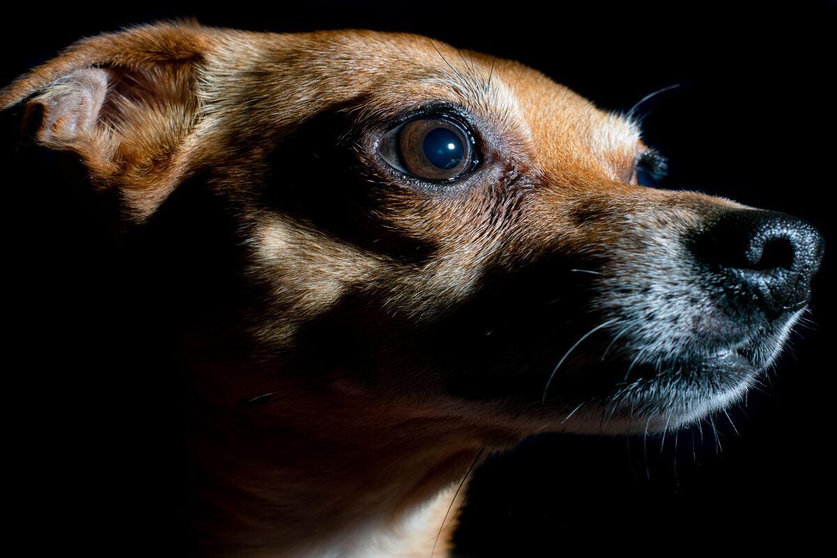 cane di piccola taglia, sfondo nero