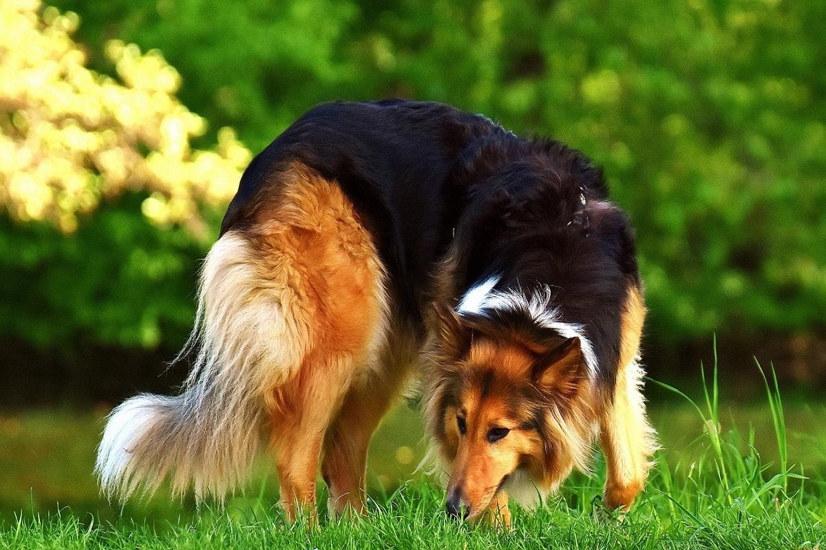 Cane mangia i pezzi di legno: è pericoloso oppure no?
